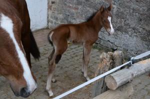 Das ist unser Jüngster. Ein kleiner Mustang-Hengst mit blauen Augen